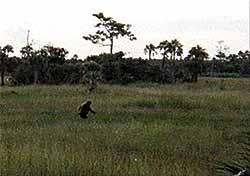 Another Photograph of a Bigfoot found in the Florida Everglades